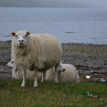 All about the Icelandic sheep